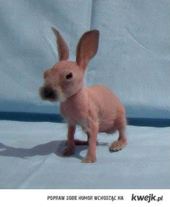 ogolony królik
