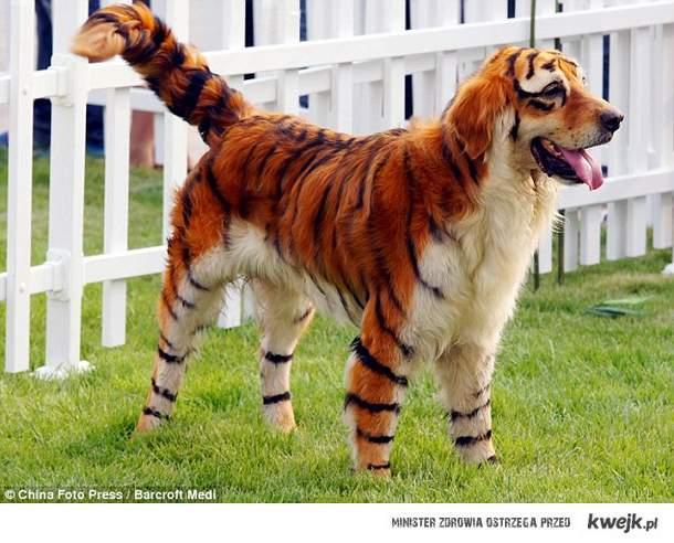 tygrys pies