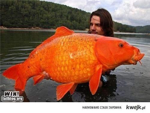 to się dzieje jak spuścisz złotą rybkę w kiblu