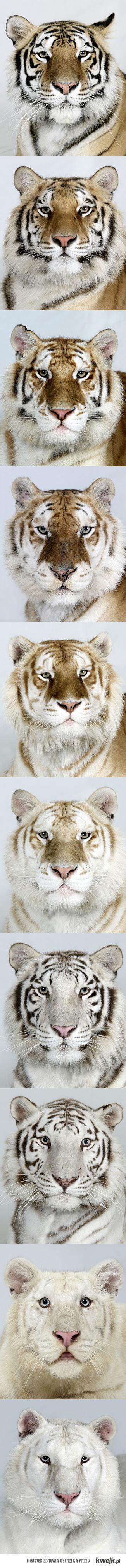 Umaszczenia tygrysów