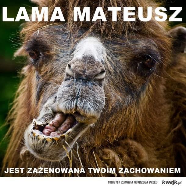 Lama Mateusz