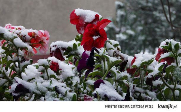 śnieg na kwiatach