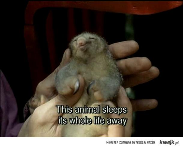 zwierzak śpioch