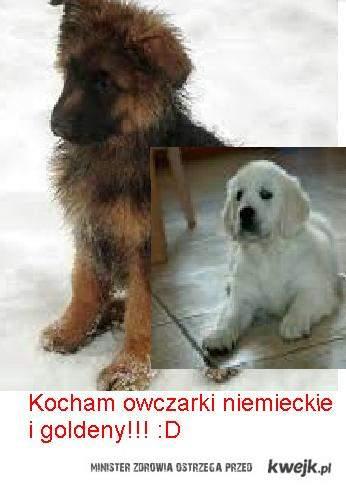 Kochan ooczarki niemieckie i goldeny!!!:D