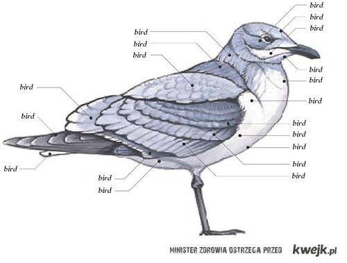 anatomia ptaka