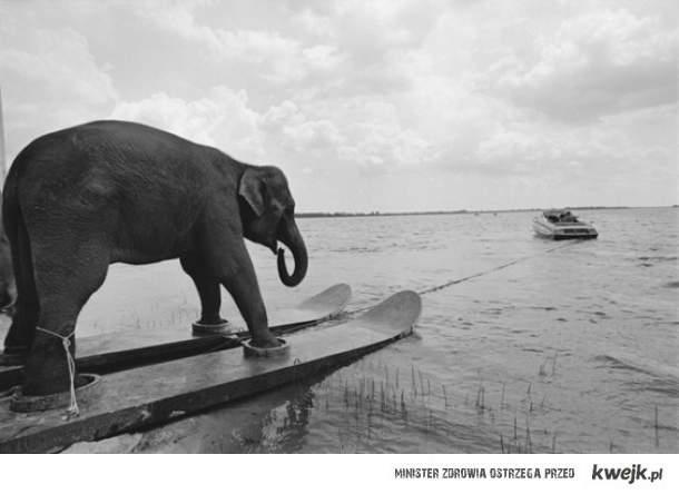 Słoń na nartach