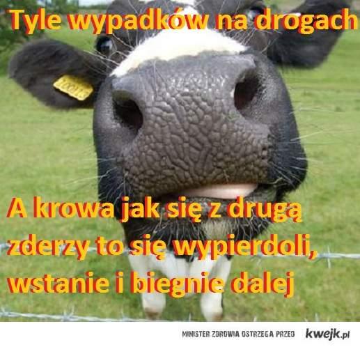 wypadek a krowa