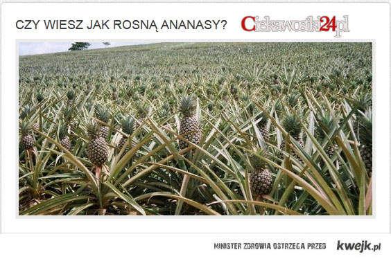 Czy wiesz jak rosną ananasy?