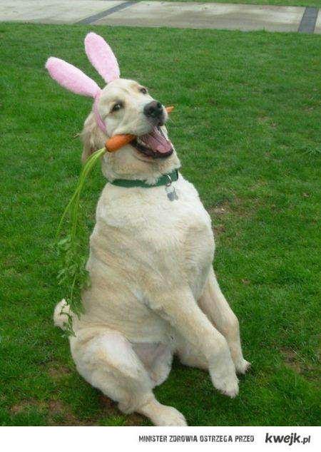 jestę królikę