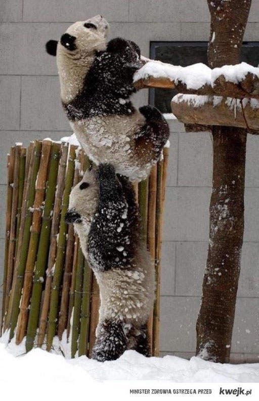 pandy uciekają