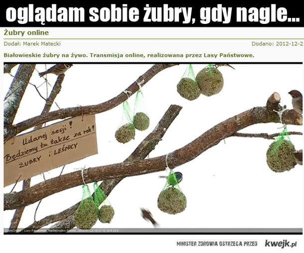 żubry