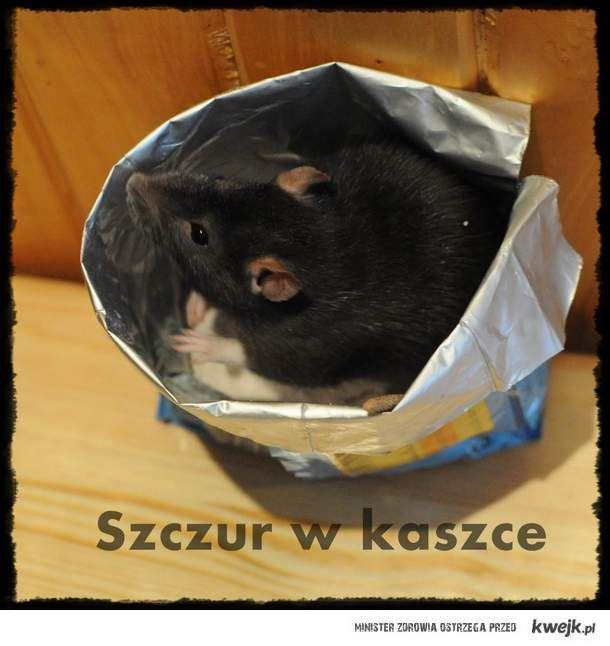 szczur w kaszce