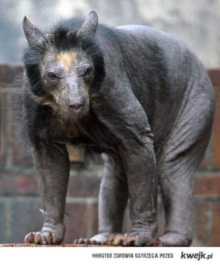 łysy niedźwiedź
