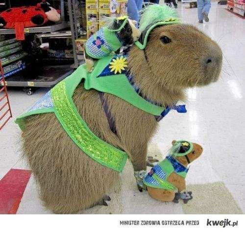 Kapibara i świnka morska