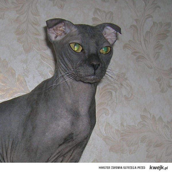 ukraiński kot