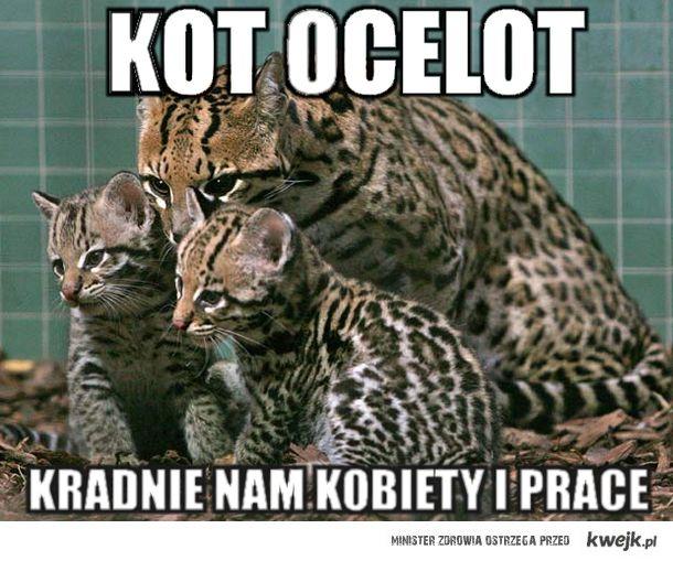 Kot Ocelot Ministerstwo śmiesznych Obrazków Kwejkpl