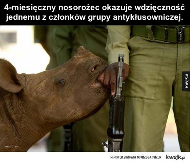 Mały nosorożec