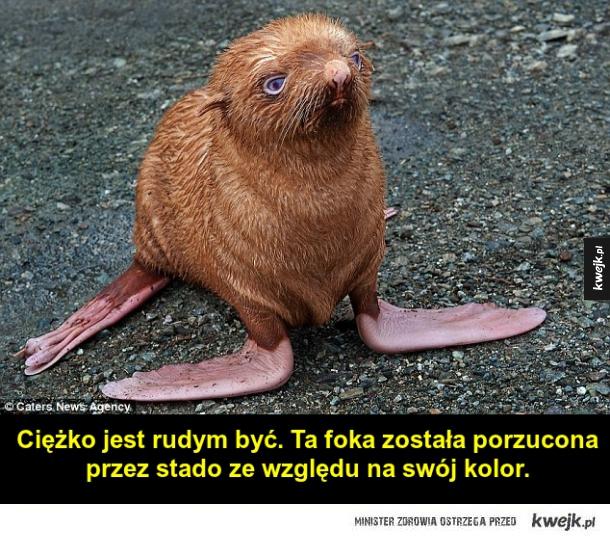 Smutna ruda foczka