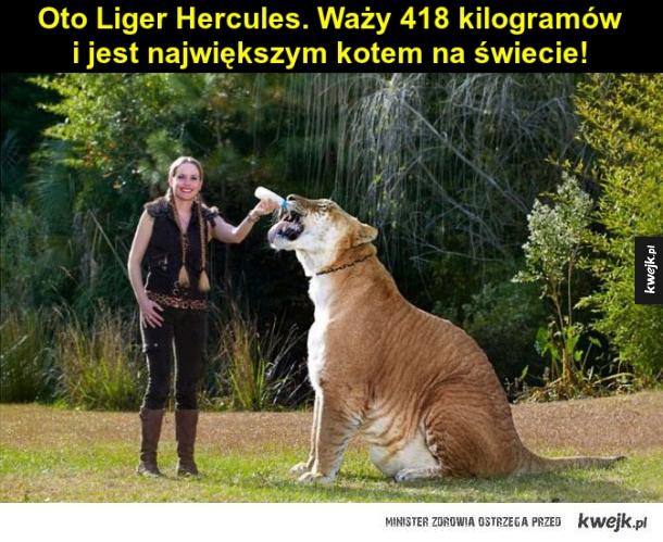 Liger Hercules