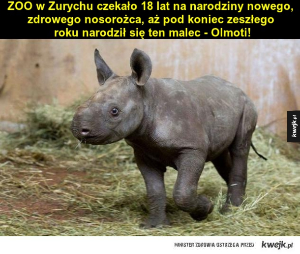 Malutki nosorożec