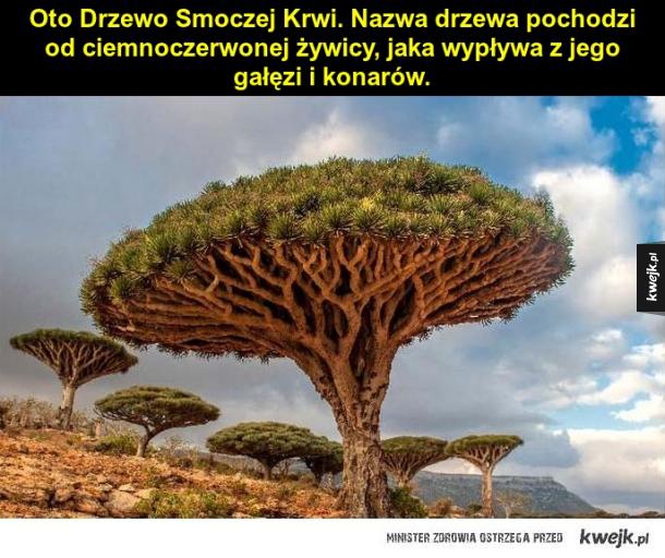 Drzewo Smoczej Krwi