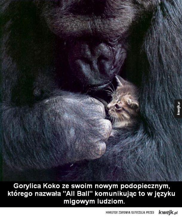 Gorylica Koko z nowym podopiecznym