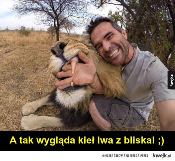 Kieł lwa