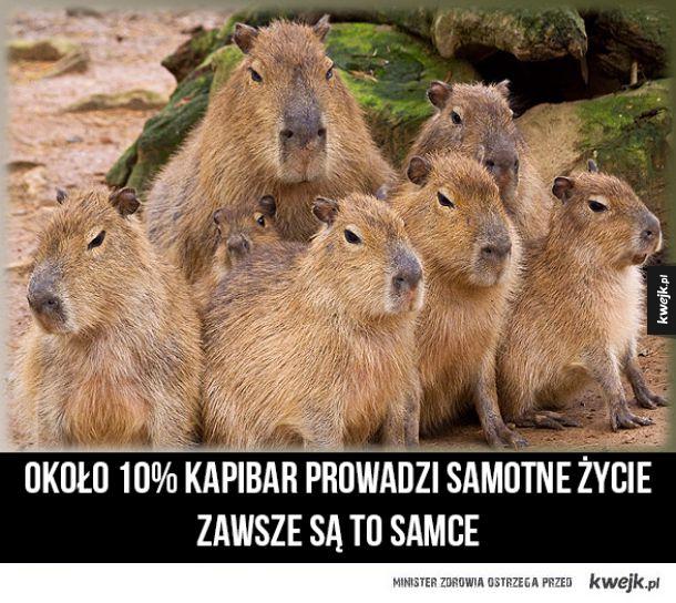 Kapibary samotniki