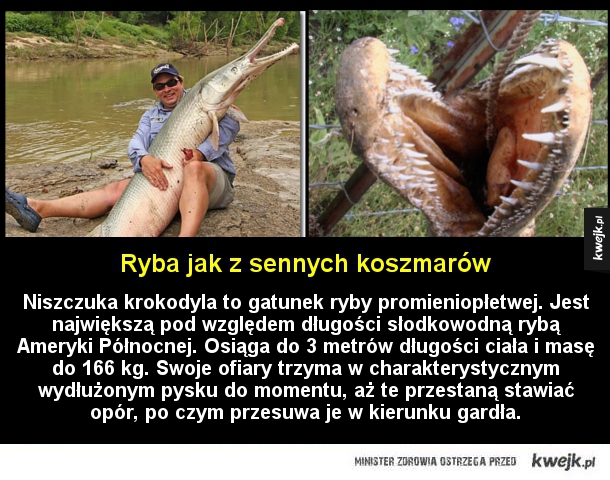 Ryba jak z sennych koszmarów - Niszczuka krokodyla to gatunek ryby promieniopłetwej. Jest największą pod względem długości słodkowodną rybą Ameryki Północnej. Osiąga do 3 metrów długości ciała i masę do 166 kg. Swoje ofiary trzyma w charakterystycznym wydłużonym pysku do momentu, aż te