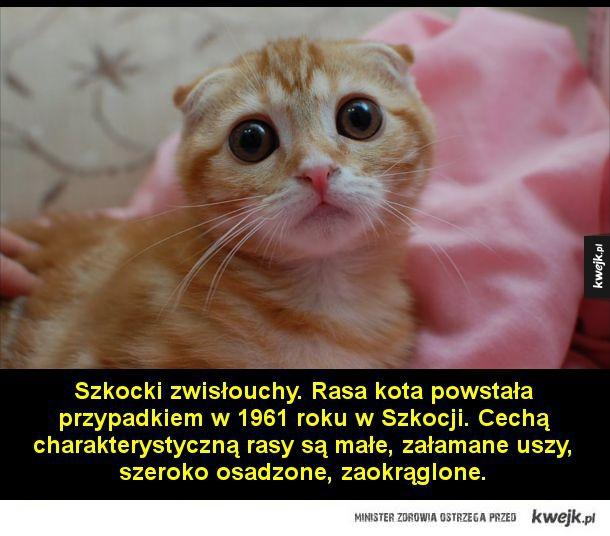 Najdziwniejsze rasy kotów - Munchkin. Rasa kota posiadająca wyjątkowo krótkie kończyny. Powstała w 1983 roku w Luizjanie.  Szkocki zwisłouchy. Rasa kota, powstała przypadkiem w 1961 roku w Szkocji. Cechą charakterystyczną rasy są małe, załamane uszy, szeroko osadzone, zaokrąglone.  T