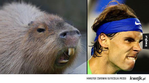 Kapibary, które wyglądają jak Rafael Nadal
