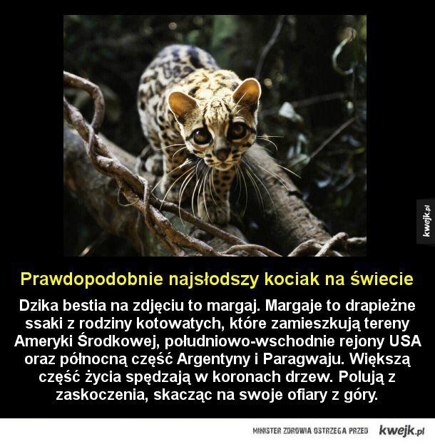 Słodka bestia - Dzika bestia na zdjęciu to margaj. Margaje to drapieżne ssaki z rodziny kotowatych, które zamieszkują tereny Ameryki Środkowej, południowo-wschodnie rejony USA oraz północną część Argentyny i Paragwaju. Większą część życia spędzają w koronach drzew. Polują