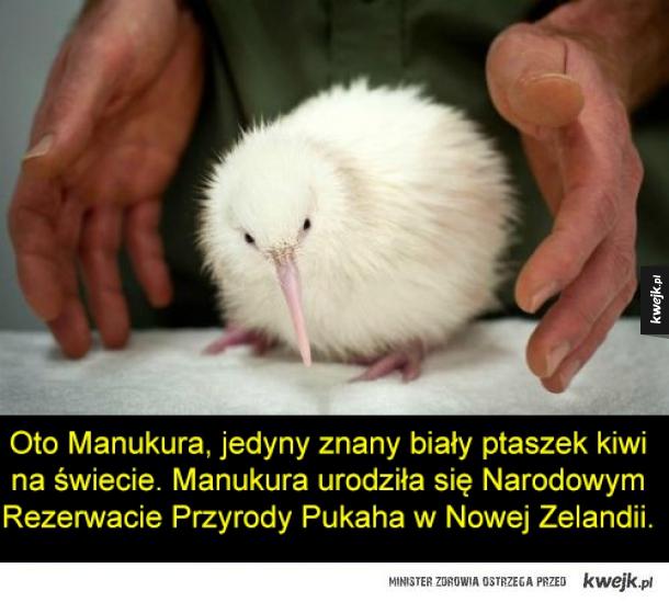 Manukura - Oto Manukura, jedyny znany biały ptaszek kiwi na świecie. Manukura urodziła się Narodowym Rezerwacie Przyrody Pukaha w Nowej Zelandii.