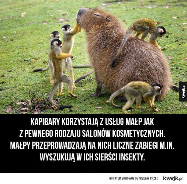Kapibary i ich salony kosmetyczne