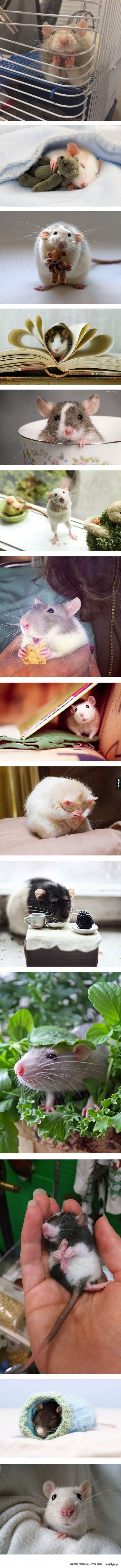 Słodkie szczurki