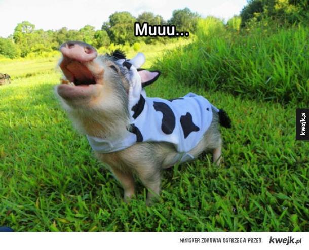 Mała krowa