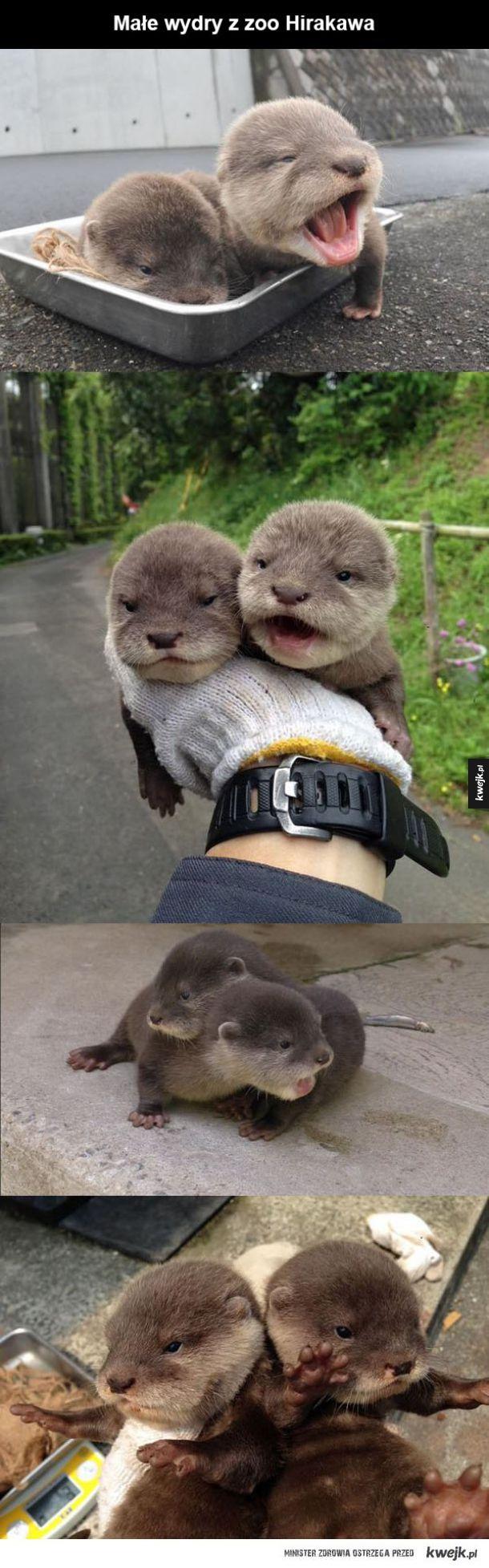 Małe wydry :)