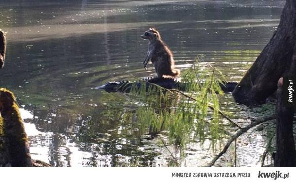 Szop płynący na aligatorze.  Bo tak.
