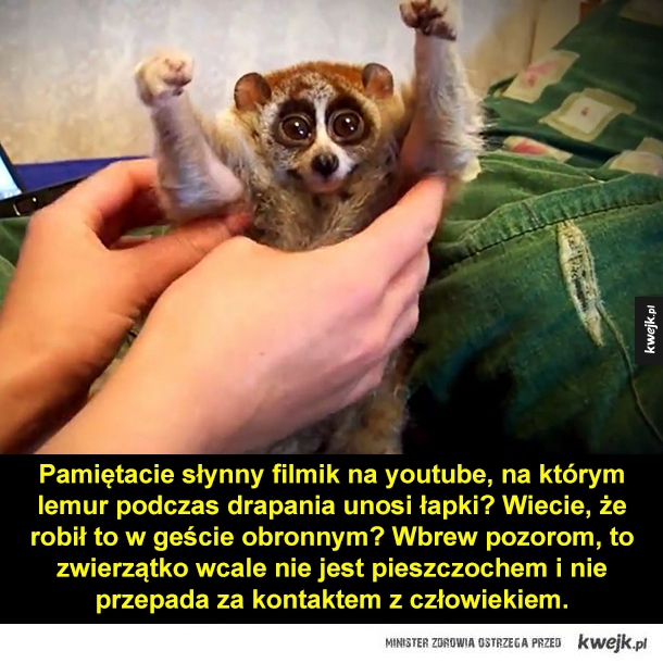 Lemur nie jest domowym zwierzątkiem!