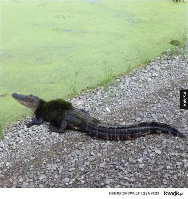 Aligator, który zrobiłby karierę jako blogerka modowa