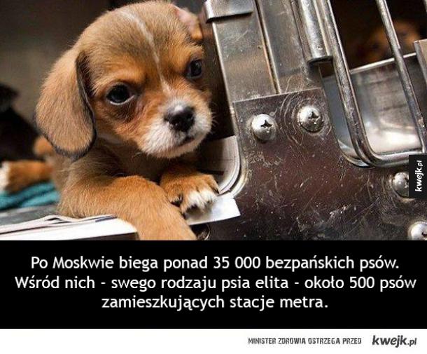 Bezpańskie psy, które nauczyły się korzystać z moskiewskiego metra