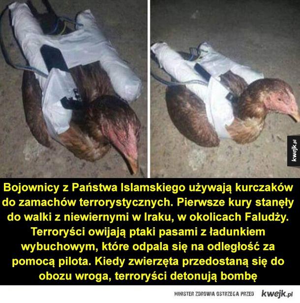 Bojownicy z Państwa Islamskiego używają kurczaków do zamachów terrorystycznych. Pierwsze kury stanęły do walki z niewiernymi w Iraku, w okolicach Faludży. Terroryści owijają ptaki pasami z ładunkiem wybuchowym, które odpala się na odległość za pomocą pilot