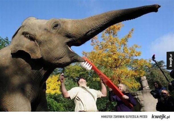 Mycie zębów słonia
