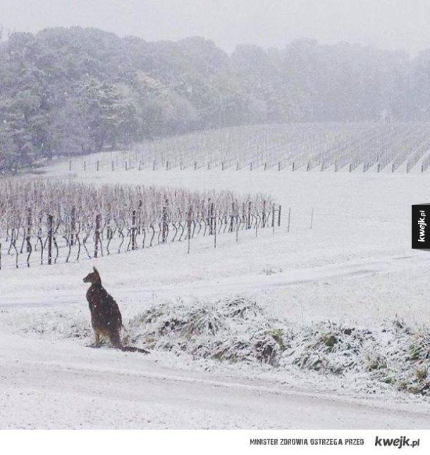 Zdezorientowany kangur podczas pierwszych od 50 lat opadów śniegu w Australii