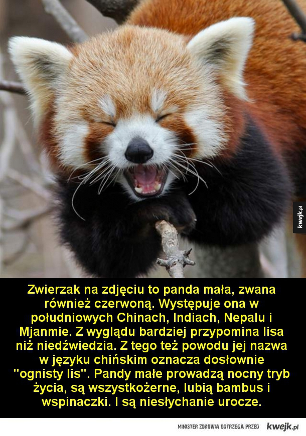 Urocza bestia - Zwierzak na zdjęciu to panda mała, zwana również czerwoną. Występuje ona w południowych Chinach, Indiach, Nepalu i Mjanmie. Z wyglądu bardziej przypomina lisa niż niedźwiedzia. Z tego też powodu jej nazwa w języku chińskim oznacza dosłownie