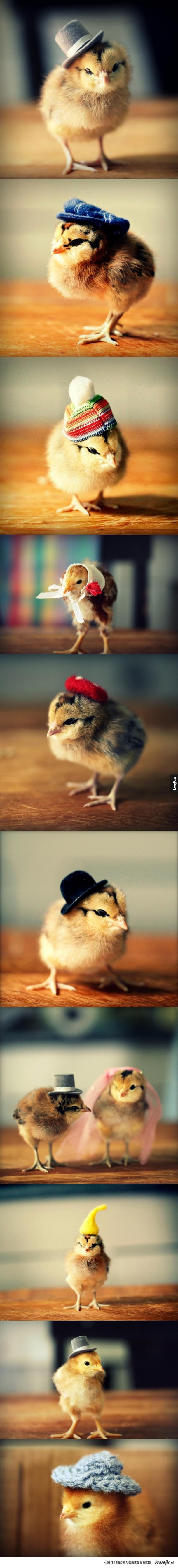 Kurczaki w czapeczkach