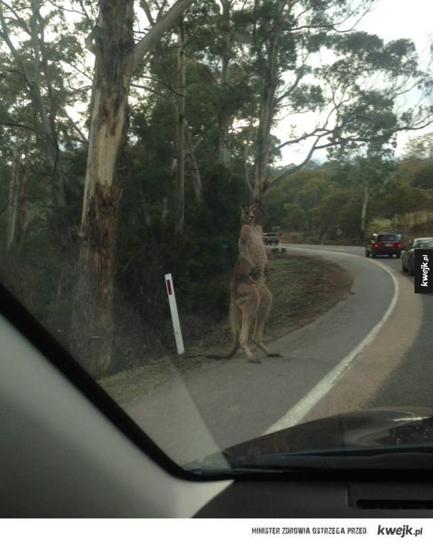 Kangur jeżdżący na stopa po Australii