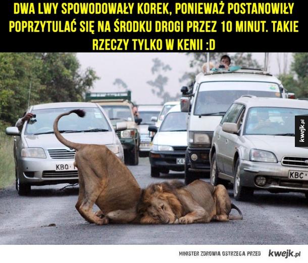 Dwa lwy spowodowały korek, ponieważ postanowiły poprzytulać się na środku drogi przez 10 minut. Takie rzeczy tylko w Kenii :D
