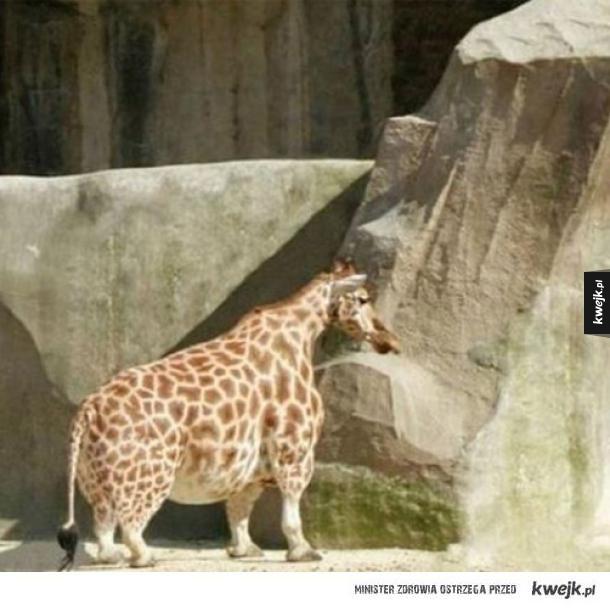 Amerykańska żyrafa