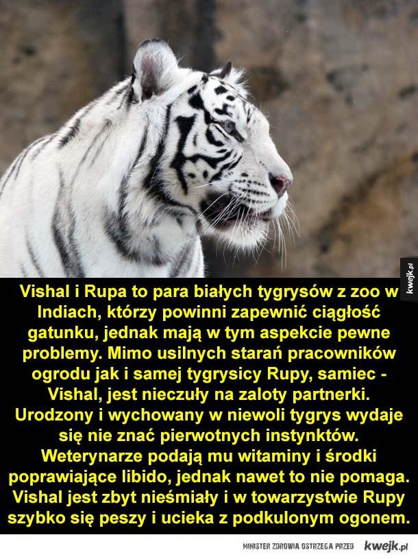 Vishal i Rupa to para białych tygrysów z zoo w Indiach, którzy powinni zapewnić ciągłość gatunku, jednak mają w tym aspekcie pewne problemy. Mimo usilnych starań pracowników ogrodu jak i samej tygrysicy Rupy, samiec - Vishal, jest nieczuły na zaloty partne